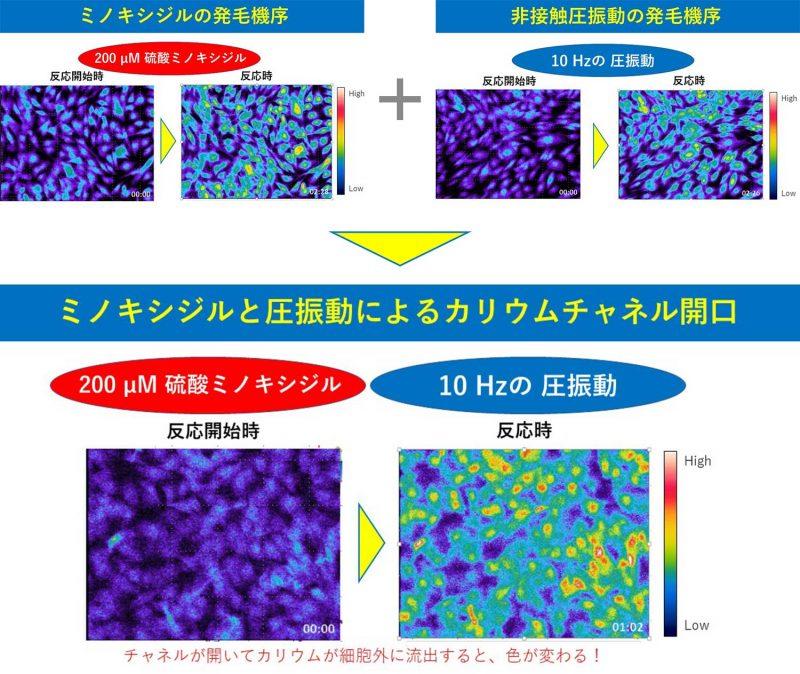ミノキシジジルと圧振動によるカリウムチャネル開口